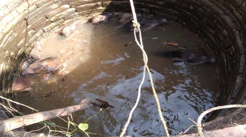 सिमराकला मैं किसान के खेत मैं बनी कुएं में गिरे 11जंगली सूअर ,मशक्कत करने के बाद 10 सूअर निकले जिंदा एक की हुई मौत,